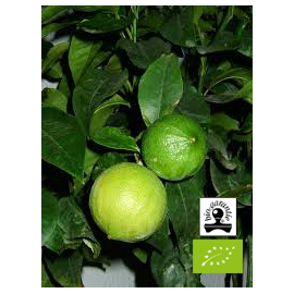 Essential oil of Bergamot BIO (Italie)