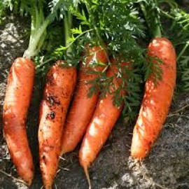 Carrot essential oil (France) Floressence