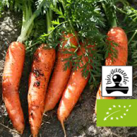 Essential oil of cultivated Carrot BIO ( France ) Floressence