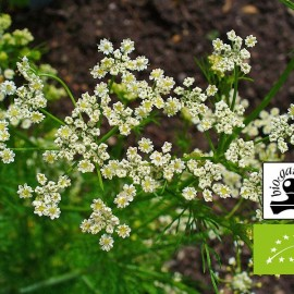Caraway essential oil BIO (Hungary) Floressence