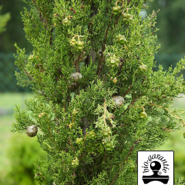 Essential oil of evergreen Cypres BIO (Spain) Floressence
