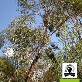 essential oil of Eucalyptus cryptone BIO ( France ) Floressence
