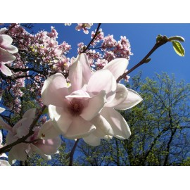 Essential oil of Magnolia (China) Floressence