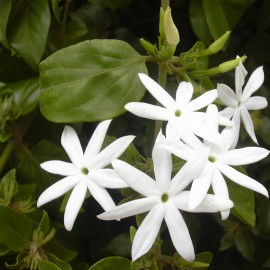 Jasmine grandiflorum absolute (India)