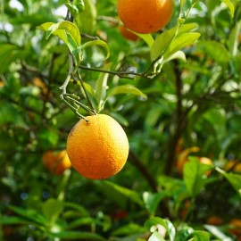 Red Mandarin essential oil (Italy) Floressence