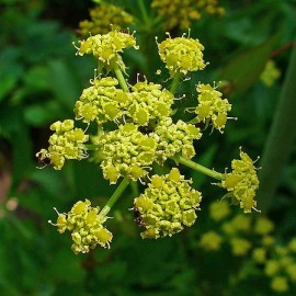 Essential oil of Lovage (Belgium) Floressence
