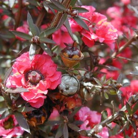 Manuka essential oil (New Zealand) Floressence